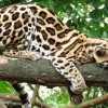 Cat Lovers – Where to See Costa Rica's Wild Felines