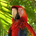 A scarlet macaw, still flying around some of the beach areas of Costa Rica, searching for almonds.