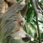 A sloth mother and her baby in the Osa Peninsula of Costa Rica.