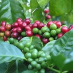 Costa Rica Coffee Tours: The Mecca for All Coffee Lovers