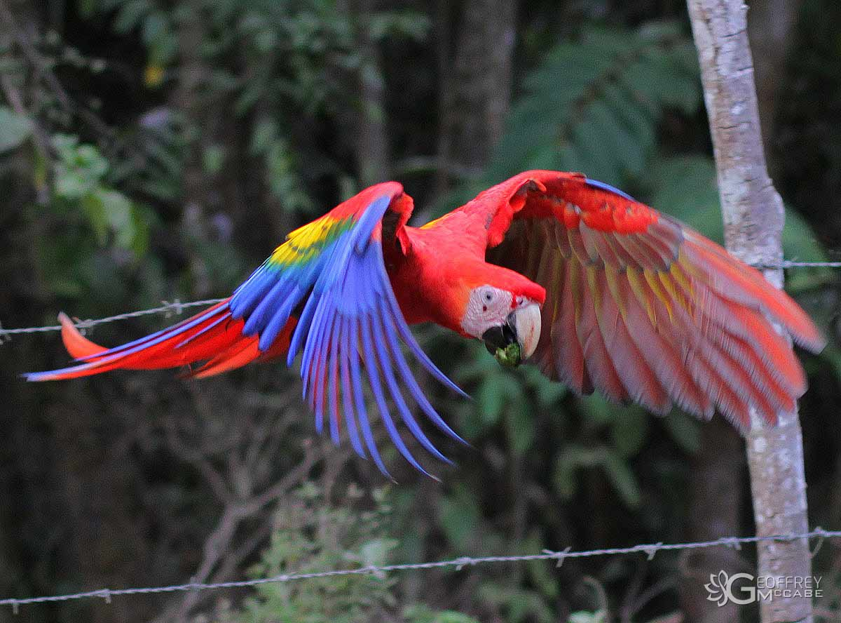 Red Macaw Parrot Flying This bird is also the largest