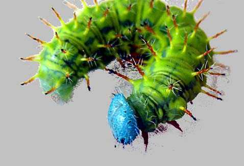 Caterpillar of Costa Rica