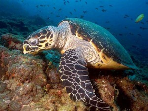 The Hawksbill Sea Turtle