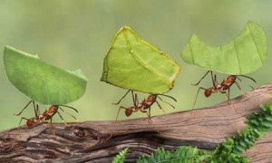 Leaf Cutting Ant