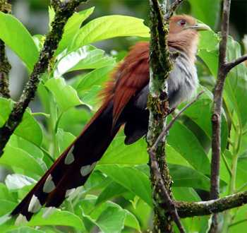 Squirrel Cuckoo Squirrel Cuckoo - Cost...