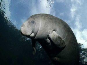 Manatee-at-the-costal-water