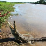 Teeth Report: Where to see Crocodiles